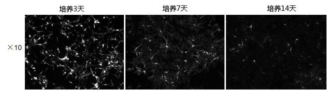 神经细胞用培养基