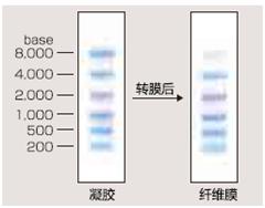 预染RNA Marker