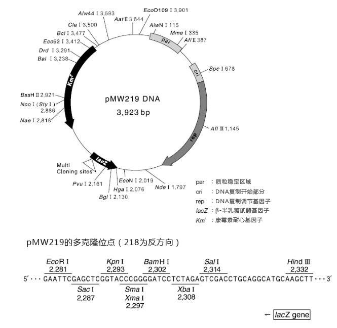 DNA pMW 219载体