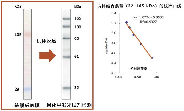 蛋白分子量标记