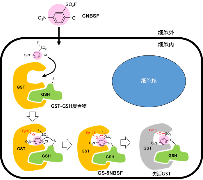 CNBSF <Irreversible GST Inhibitor>