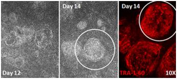 Stemgent® mRNA 重编程试剂盒