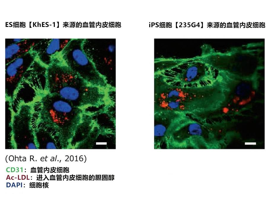 血管内皮细胞的分化诱导用粘连蛋白iMatrix-411