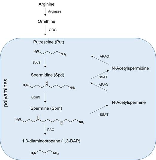 用于检测细胞内多胺的荧光试剂PolyamineRED