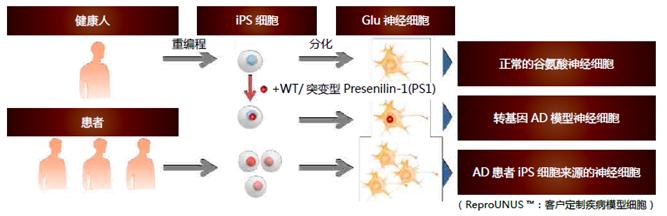 人iPS细胞来源的谷氨酸能神经元祖细胞