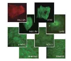 人iPS细胞来源的心肌细胞,用于高通量分析