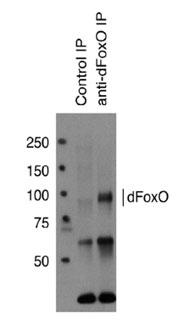 抗dFoxO多克隆抗体