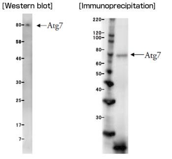 抗Atg7单克隆抗体(克隆号:ATG7-2)