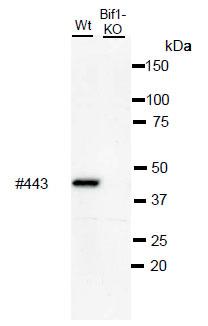 抗BIF1单克隆抗体(克隆号:BIF1-443)