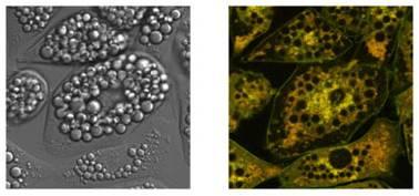 POLARIC™ 活细胞荧光变色溶剂