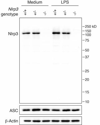 NLRP3抗体