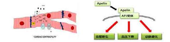 Apelin中和抗体