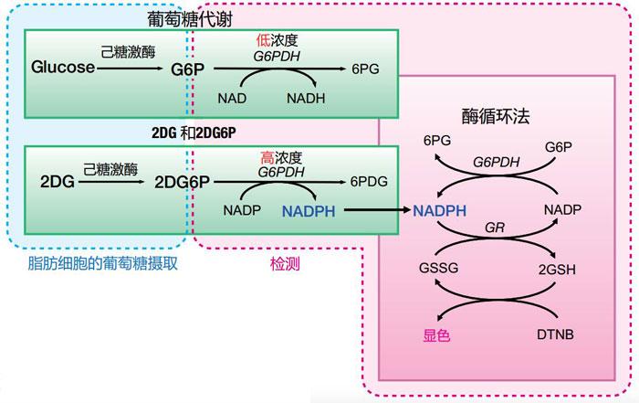 2-脱氧葡萄糖(2DG)摄入检测试剂盒