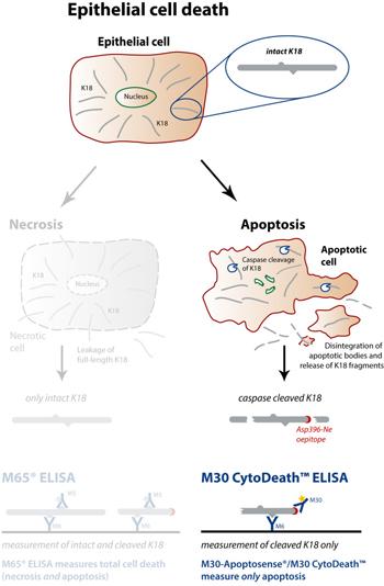 细胞凋亡M30 CytoDeath™ ELISA试剂盒