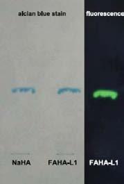 带有荧光标记的透明质酸系列产品