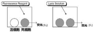 细胞毒性荧光检测(FACLS法)