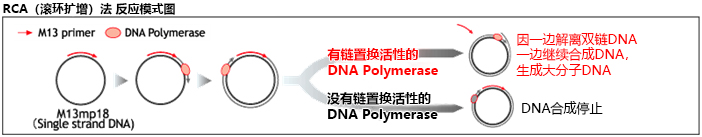 Bst DNA Polymerase